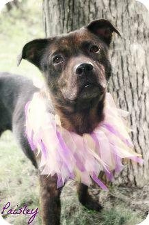 Boxer Mix Dog for adoption in Poland, Ohio - PAISLEY // 7