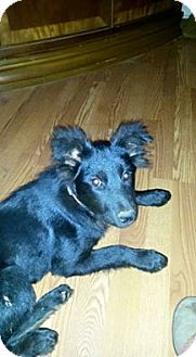 Labrador Retriever/Chow Chow Mix Dog for adoption in Hamburg, Pennsylvania - Kaia