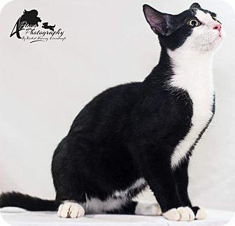 Domestic Shorthair Kitten for adoption in Rocklin, California - Ivan