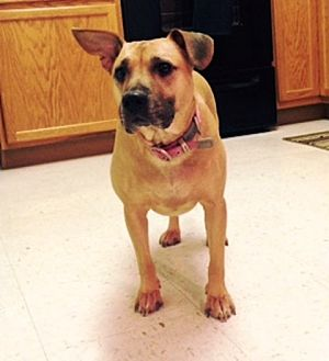 American Staffordshire Terrier Mix Dog for adoption in Radford, Virginia - Dolly