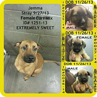 Mountain Cur Mix Dog for adoption in Greenville, Kentucky - Jemma and pups