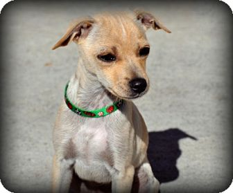 Chihuahua Dog for adoption in Orland, California - WALKER