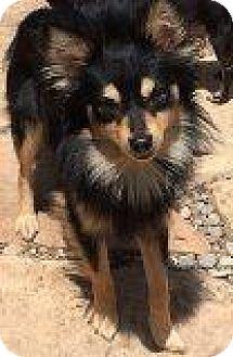 Papillon Mix Dog for adoption in Santa Ana, California - Alex