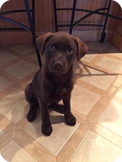 Labrador Retriever/Terrier (Unknown Type, Medium) Mix Puppy for adoption in New Oxford, Pennsylvania - Zadie