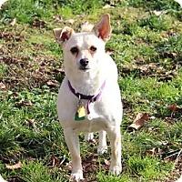 Adopt A Pet :: Angel - Lynnwood, WA
