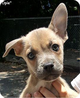 Terrier (Unknown Type, Medium) Mix Puppy for adoption in Key Largo, Florida - Opie
