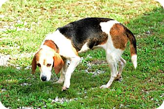 Basset Hound Mix Dog for adoption in Kendall, New York - Alice