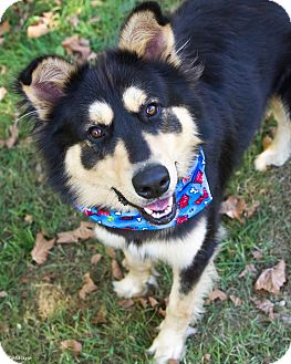 German Shepherd Dog/Collie Mix Dog for adoption in Sugar Grove, Illinois - Max