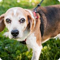 Adopt A Pet :: Joey - Coudersport, PA