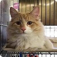 Adopt A Pet :: Lorenzo (lap cat) - Sterling Hgts, MI