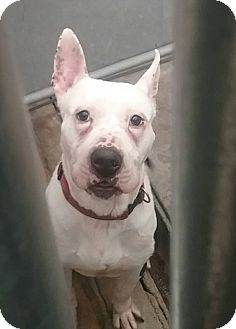 Bull Terrier Mix Dog for adoption in Elizabeth, New Jersey - Dice