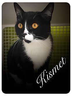 Domestic Shorthair Cat for adoption in Meridian, Idaho - Kismet