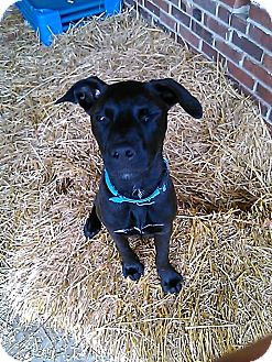 Labrador Retriever Mix Puppy for adoption in East Hartford, Connecticut - Clyde in CT