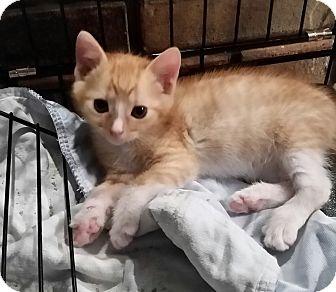 Domestic Shorthair Kitten for adoption in New Port Richey, Florida - Abner