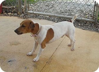 Jack Russell Terrier Dog for adoption in Snellville, Georgia - Perry