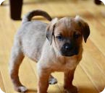 Shepherd (Unknown Type) Mix Puppy for adoption in Columbia, Maryland - Roland