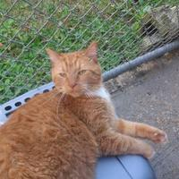 Domestic Shorthair/Domestic Shorthair Mix Cat for adoption in Dothan, Alabama - Punkin