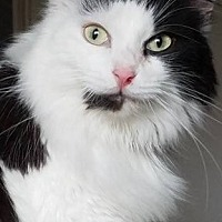 Domestic Longhair Cat for adoption in Cuba, New York - Marion Rounds