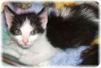 Domestic Shorthair Kitten for adoption in Naples, Florida - Orielo
