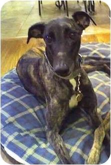 Greyhound Mix Dog for adoption in Wayne, Michigan - Foxy