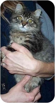 Maine Coon Kitten for adoption in Randolph, New Jersey - Maria
