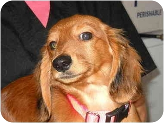 Dachshund Puppy for adoption in Broadway, New Jersey - Ducho