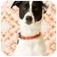 Photo 2 - Pointer/Greyhound Mix Dog for adoption in Portland, Oregon - Max