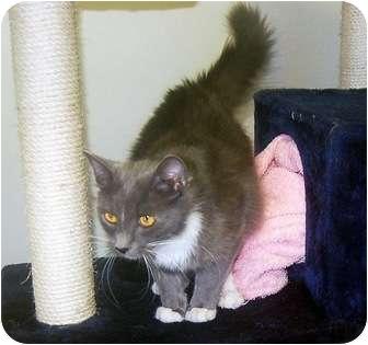 Domestic Mediumhair Cat for adoption in San Clemente, California - SHIRLEY