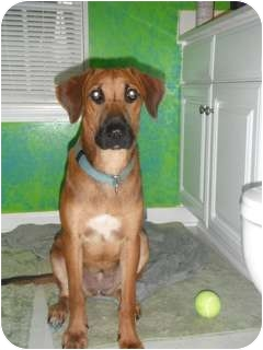 Hound (Unknown Type) Mix Dog for adoption in Seneca, South Carolina - Keris