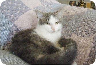 Turkish Angora Kitten for adoption in Colmar, Pennsylvania - Chanceux