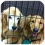Photo 4 - Golden Retriever Dog for adoption in Knoxville, Tennessee - Emily