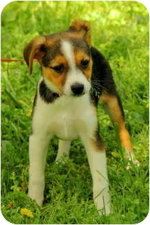 Jack Russell Terrier Mix Puppy for adoption in Windham, New Hampshire - Cody