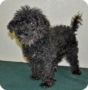 Poodle (Miniature) Dog for adoption in Port Washington, New York - Chip