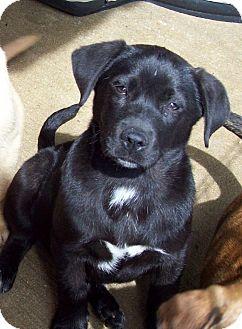 Labrador Retriever/Shepherd (Unknown Type) Mix Puppy for adoption in Glastonbury, Connecticut - DANICA