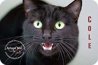 American Shorthair Cat for adoption in Phoenix, Arizona - Cole