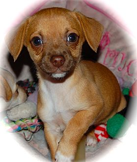 Chihuahua/Terrier (Unknown Type, Small) Mix Puppy for adoption in Kempner, Texas - DaVinci