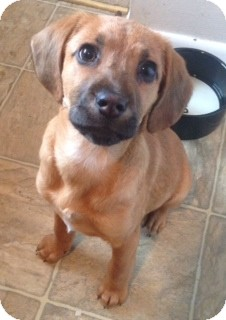 Hound (Unknown Type) Mix Puppy for adoption in Virginia Beach, Virginia - Maddison