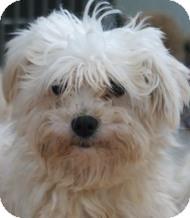 Maltese Dog for adoption in New Freedom, Pennsylvania - Glory Anna (Adoption Pending)