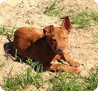 Rhodesian Ridgeback/Shar Pei Mix Puppy for adoption in Groveland, Florida - Punch