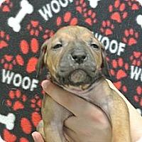 Adopt A Pet :: Kylie - white settlment, TX