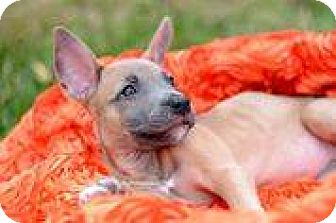 American Pit Bull Terrier/Chihuahua Mix Puppy for adoption in Lincoln, California - Baylee