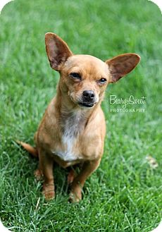 Chihuahua Mix Dog for adoption in Chicago, Illinois - MILO
