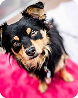 Australian Shepherd Mix Dog for adoption in Santa Barbara, California - Loki