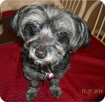 Yorkie, Yorkshire Terrier Mix Dog for adoption in Cat Spring, Texas - Tinker Bell