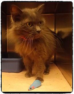 Domestic Mediumhair Cat for adoption in Marietta, Georgia - ELLOUISE - See video $60 Adopt