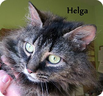 Domestic Longhair Cat for adoption in Warren, Pennsylvania - Helga