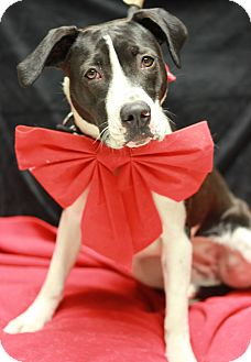 Pit Bull Terrier Mix Dog for adoption in Twin Falls, Idaho - Cupid