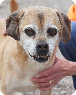 Beagle/Pug Mix Dog for adoption in Avon, Ohio - Mortin