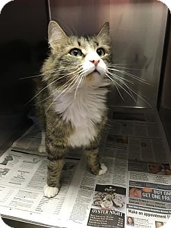 Domestic Mediumhair Cat for adoption in Colonial Heights, Virginia - Beast