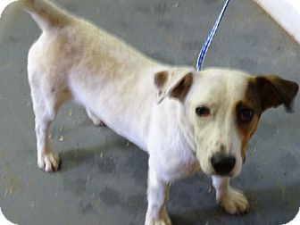 Jack Russell Terrier Mix Puppy for adoption in Delaware, Ohio - Crinkle